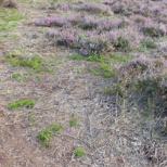 Rajeunissement de la lande par girobroyage ©O.G.E